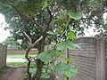 """Cucurbita maxima """"zapallo plomo"""" (Costanzi temp) flor femenina F03 hábito disposición hojas y yemas en la rama vertical.JPG"""