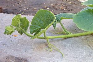 Plant stem - Decumbent stem in Cucurbita maxima.