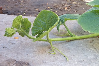 Plant stem - Decumbent stem in Cucurbita maxima.