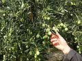 Cueillette-olives-vertes.jpg