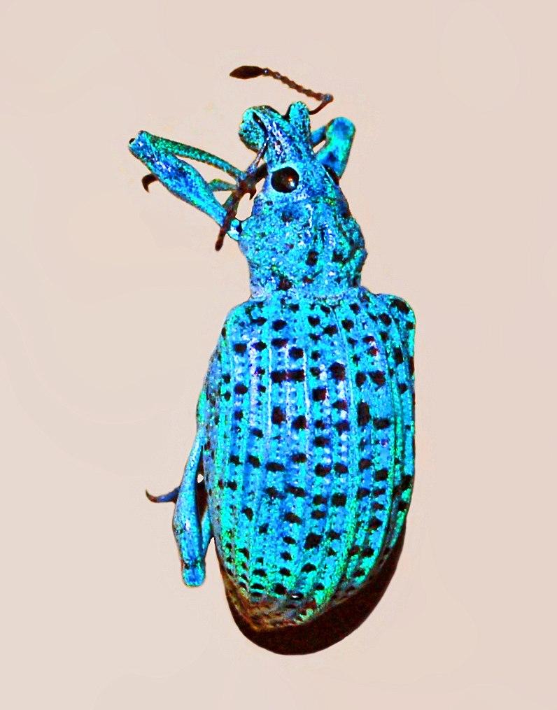 Curculionidae - Rhigus nigrosparsus