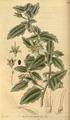 Curtis's Botanical Magazine, Plate 3048 (Volume 58, 1831).png
