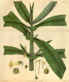 Curtis's Botanical Magazine, Plate 3067 (Volume 58, 1831).png