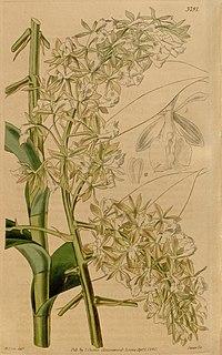 Curtis's botanical magazine (Plate 3791) (9128921822).jpg