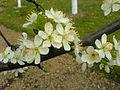 Cvet šljive 1.JPG