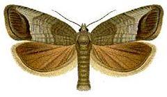 [FC] Mausoleum of butterflies 240px-Cydia_pomonella_%28Falter%29