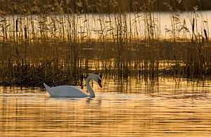 Hydrosere - Mute swan (Cygnus olor) in a hydrosere community at sunrise.