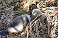 Cygnus olor (Küken) - Arboretum 2011-05-28 18-14-10.JPG