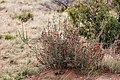 Cylindropuntia leptocaulis - Flickr - aspidoscelis (2).jpg