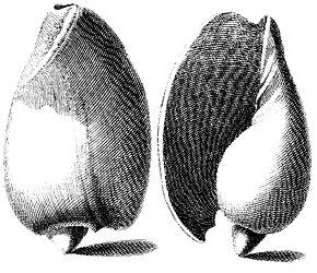 https://upload.wikimedia.org/wikipedia/commons/thumb/9/9d/Cymbium-olla.jpg/290px-Cymbium-olla.jpg
