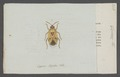 Cymus - Print - Iconographia Zoologica - Special Collections University of Amsterdam - UBAINV0274 040 07 0011.tif