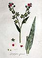 Cynoglossum officinale — Flora Batava — Volume v1.jpg