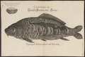 Cyprinus carpio - 1726 - Print - Iconographia Zoologica - Special Collections University of Amsterdam - UBA01 IZ15000031.tif