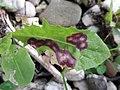 Cystiphora taraxaci (Cecidomyiidae) - (gall), Elst (Gld), the Netherlands.jpg