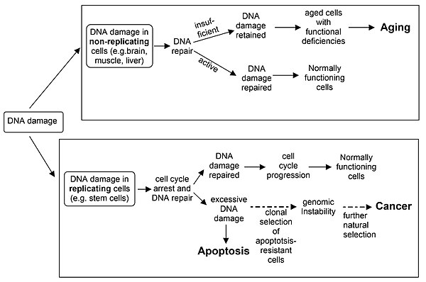 Dna damage naturally occurring wikipedia dna damage in non replicating cells if not repaired and accumulated can lead to aging dna damage in replicating cells if not repaired can lead to either ccuart Image collections