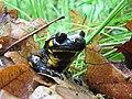 Daždevnjak - Salamandra salamandra1.jpg