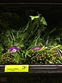 Dandelion greens for sale at Whole Foods.jpg