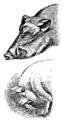 Darwin Domestic 103.png