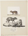 Dasyprocta aguti - 1700-1880 - Print - Iconographia Zoologica - Special Collections University of Amsterdam - UBA01 IZ20600105.tif