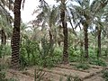 Date palm orchard, Al-Faw, Basrah, Iraq.JPG