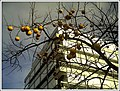 December Khaki Pflaume Botanischer Garten Freiburg - Botany Photography 2012 - panoramio.jpg
