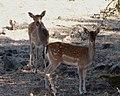 Deer (32605750920).jpg