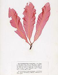 Delesseria sanguinea Crouan.jpg
