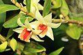 Dendrobium Green Lantern 3zz.jpg