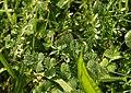 Dew on leaves, The Grove - geograph.org.uk - 990827.jpg