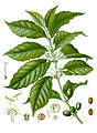 Diagram of Coffea arabica-cropped.jpg
