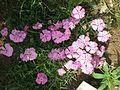Dianthus alpinus001.jpg