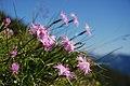 Dianthus sternbergii.jpg