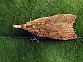 Dichomeris derasella - Выемчатокрылая моль плодовая (40841006612).jpg