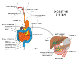 Digestive system with liver