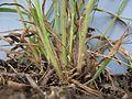Digitaria ramularis plant base3 (7225415706).jpg