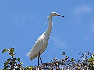 Dimorphic egret - Light morph in Madagascar