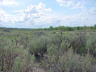 Artemisia cana - Silver sagebrush in Dinosaur Provincial Park, Alberta