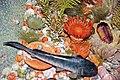 Diorama of a Devonian seafloor - corals, trilobite, algae, fish, fenestrate bryozoans, brachiopods (30717351867).jpg