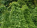 Dioscorea caucasica 2016-05-31 1888.jpg