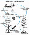 Disease Cycle Corn Grey Leaf Spot.jpg