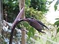 Disporum longistylum Night Heron - Flickr - peganum (4).jpg