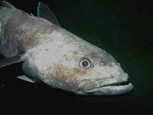 Nototheniidae - Head of Antarctic toothfish (Dissostichus mawsoni) in McMurdo Sound