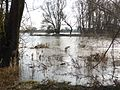 Donau-Auen bei Reibersdorf.JPG
