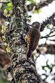 Dot-fronted Woodpecker.jpg