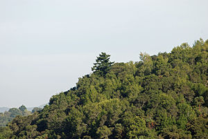 Jasper Ridge Biological Preserve - Douglas Fir rises above Coast Live Oak/Pacific Madrone forest on northeast peak of Jasper Ridge - viewed from Sandhill Road
