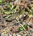 Draba cuneifolia 4.jpg