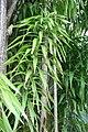 Dracaena americana 3zz.jpg