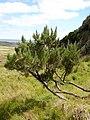 Dracophyllum arboreum tree.jpg