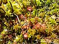 Drosera rotundifolia sl3.jpg