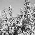 Druivenplukker aan het werk, Bestanddeelnr 254-4158.jpg